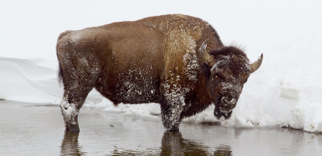During the winter, bison use their wide heads like shovels, batting snow out of the way to get to the grass beneath. Their muscular humps act as counterweights, giving the buffalo even more leverage against deeply packed snow. A bison's keen nose can detect grass buried under as much as a meter of snow. As highly social animals, bison will stay close to their herd all winter, surviving together.