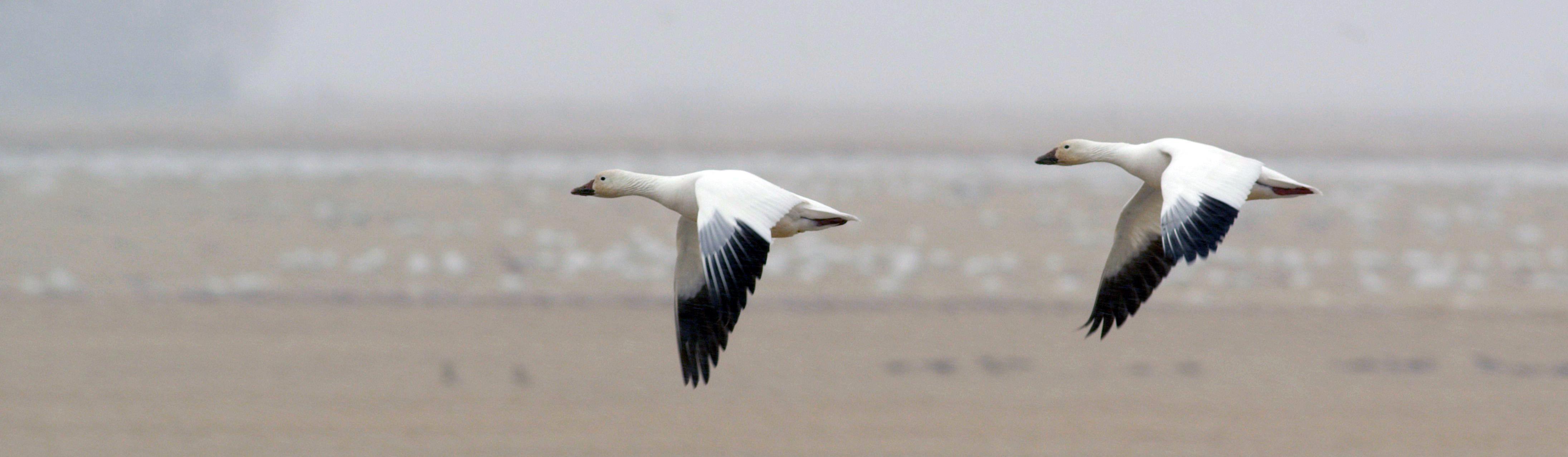 Snow Geese at Freezout Lake 1