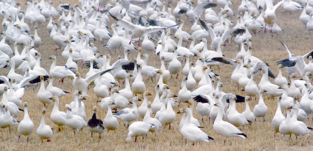 Snow Geese at Freezout Lake 2