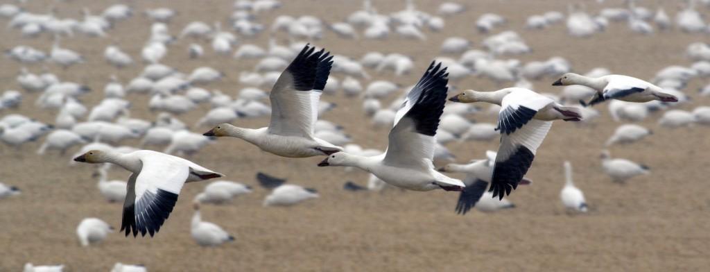 Snow Geese at Freezout Lake 3
