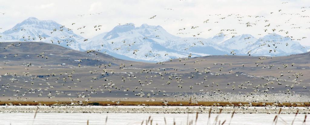 Snow Geese at Freezout Lake 4
