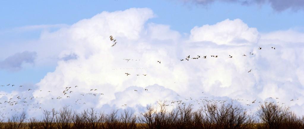 Snow Geese at Freezout Lake 6