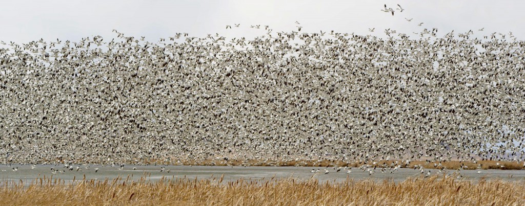 Snow Geese at Freezout Lake7