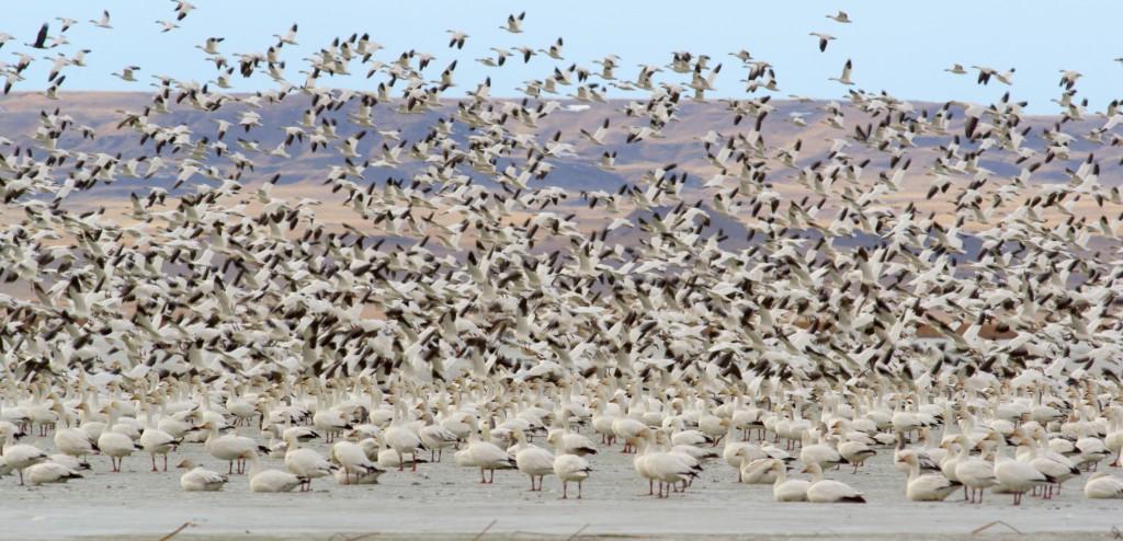 Snow Geese at Freezout Lake 9