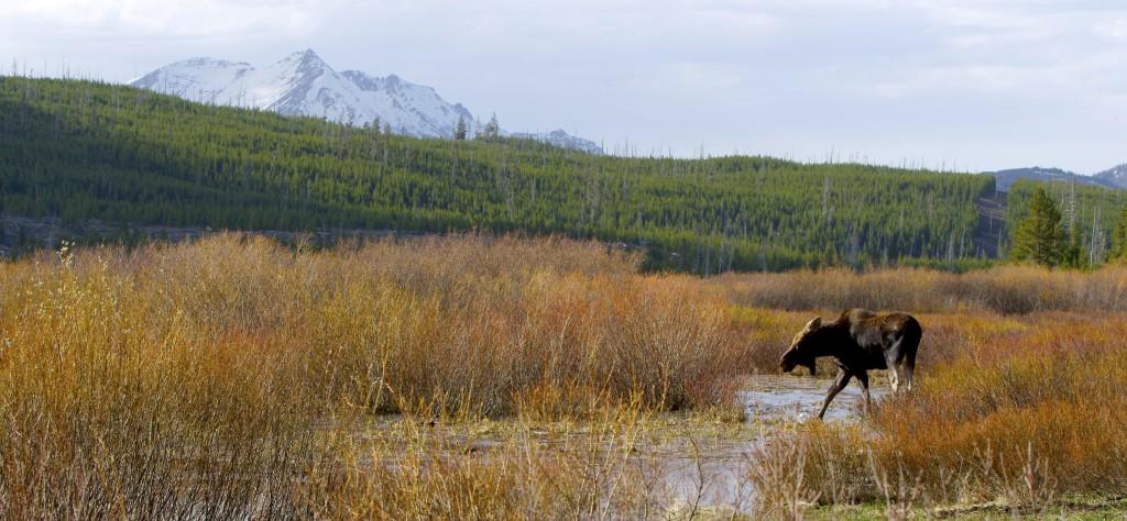 Moose, YNP (3)