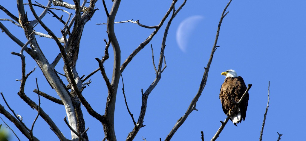 """Videographer Mike Dreesman spent an hour watching this bald eagle, waiting to get some action shots. As soon as he turned off his camera and headed back to his car, """"here comes the bald eagle, right over my left shoulder, nice and low, right past me."""" Mike says, """"that happens all the time."""""""