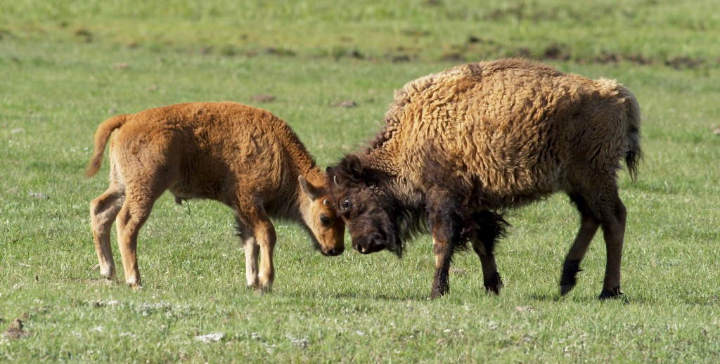 Bison calf and yearling butt heads, YNP