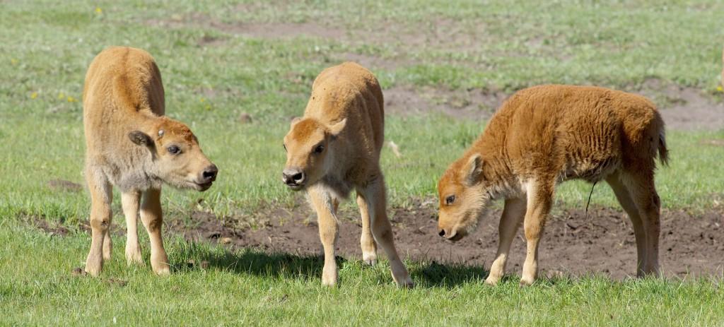 Bison Calves, YNP
