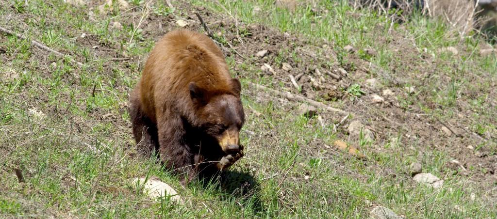 Bear, YNP (5)