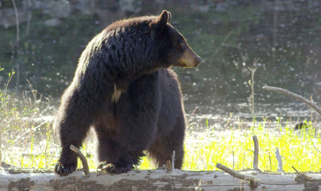 Sow black bear, YNP (1)
