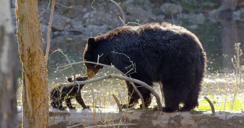 Sow and cub, YNP