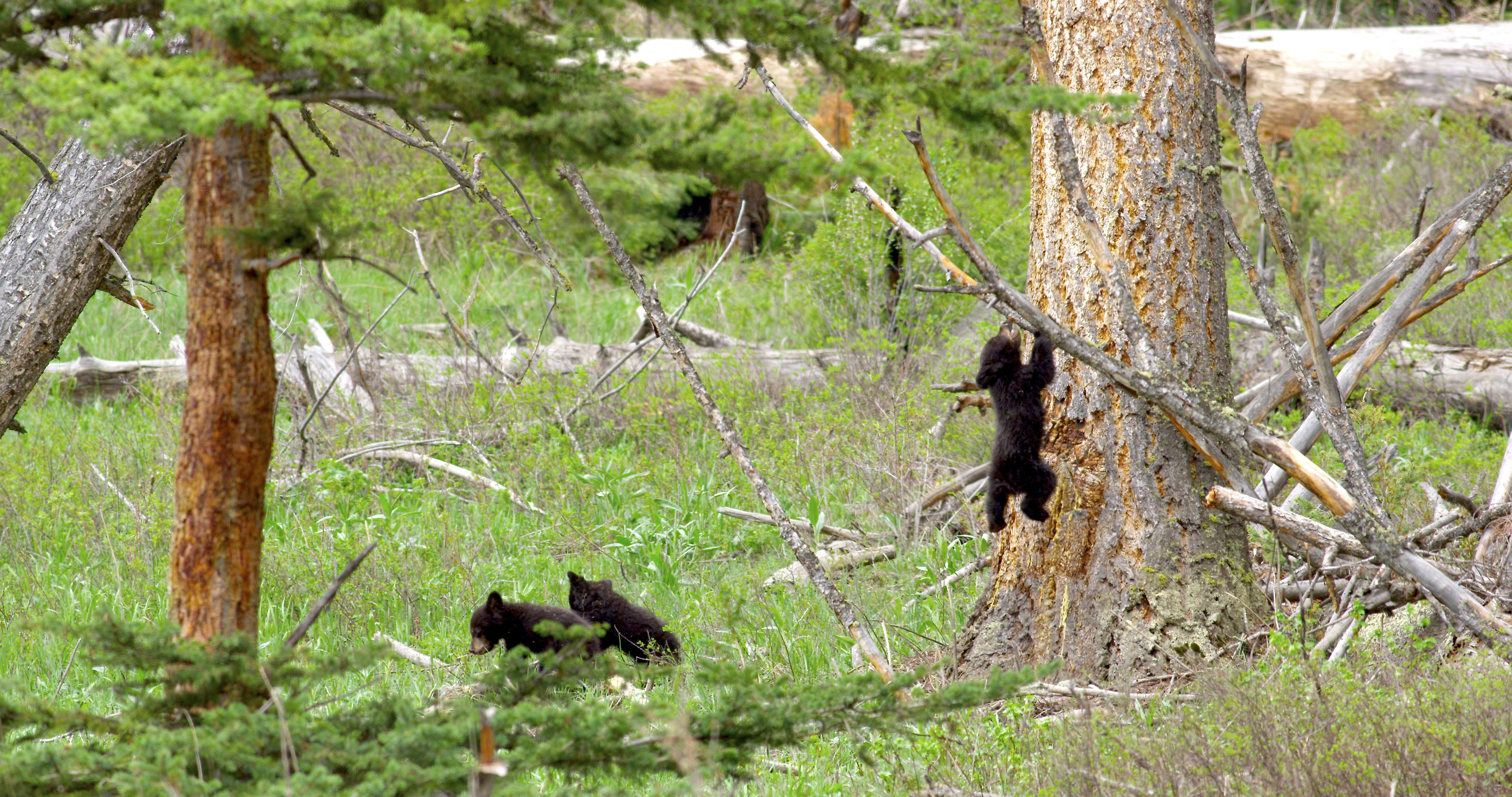 three bear cubs, Yellowstone National Park, Spring 2014