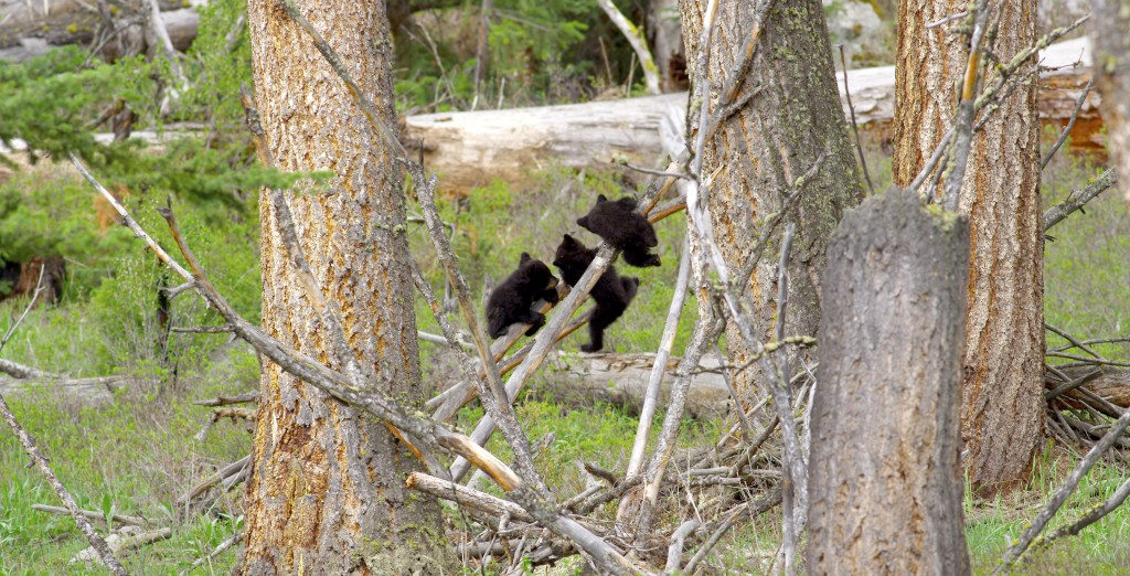 Acrobatic bear cubs, YNP (1)