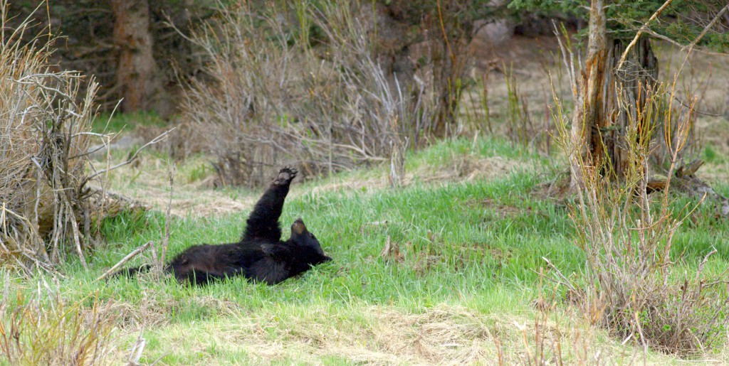 "A lethargic black bear lazily examines her paws. ""When you're filming wildlife you're looking for those moments where they do something, you know, something. And that was sort of different."""