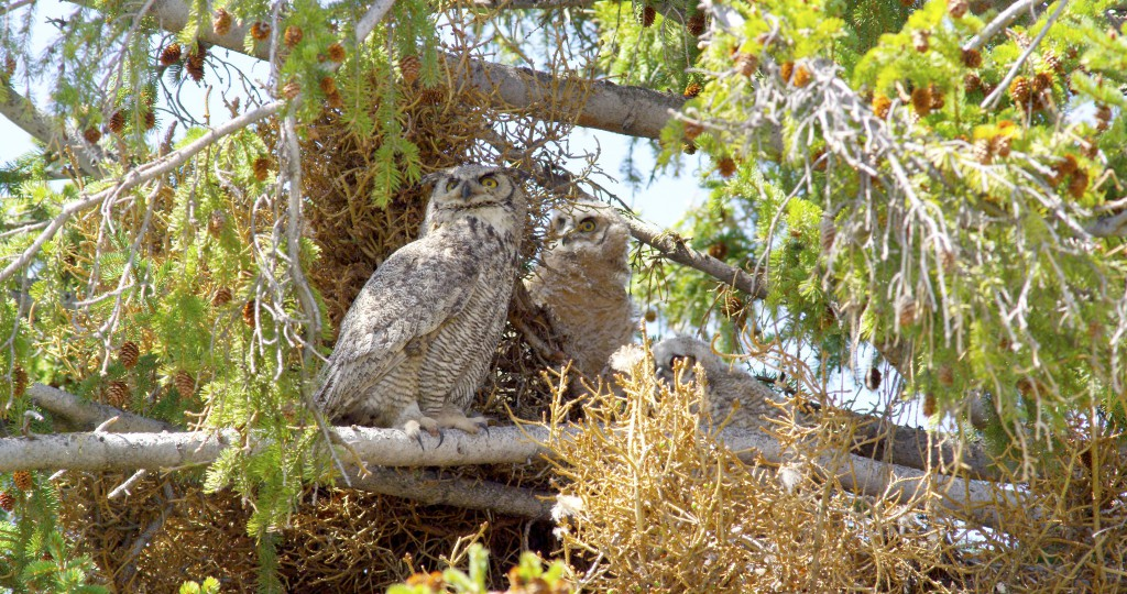 Adult and juvenile Great Horned owls, YNP (2)