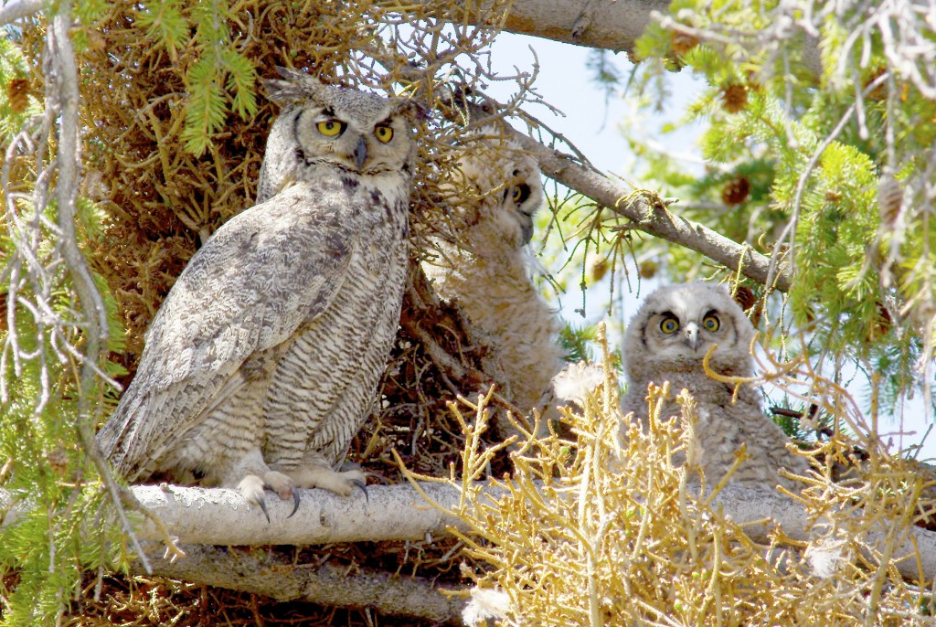 Adult and juvenile Great Horned owls, YNP