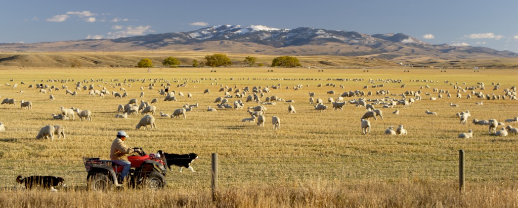 A flock of sheep near Dillon.